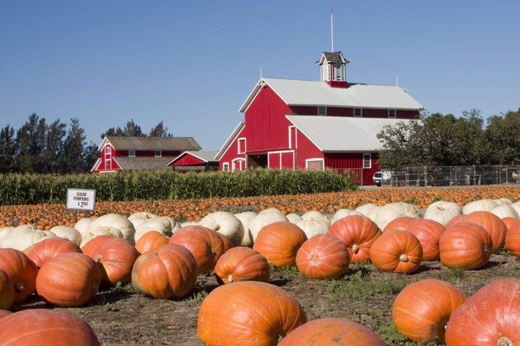 """When is the best time to visit a pumpkin patch, such as Mitcham Farm"""" ljooc © 123rf"""""""